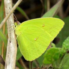 Insetologia - Identificação de insetos: Lepidoptera (Borboletas - Outras Famílias)