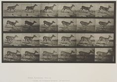 Eadweard Muybridge (American, b. England, 1830-1904)  Plate 683 from Animal Locomotion, 1887  Virginia deer, buck, galloping.   Collotype on paper, 13-11/16 x 19-5/8 in.   Gift of Mrs. Jill Tane.  1994.8.32