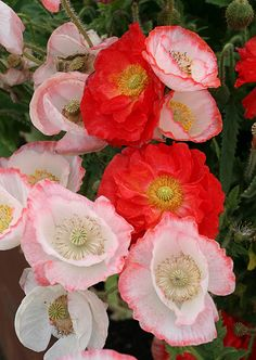 Papaver rhoeas Falling in Love mix by anniesannuals, via Flickr