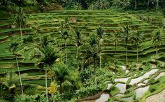 Beautiful Bali Padi's Field