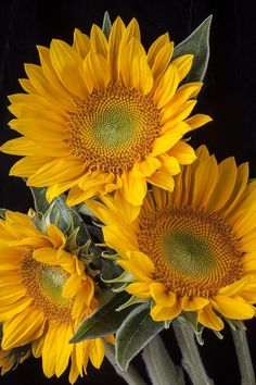 "gyclli: ""  Three Sunflowers Photograph by Garry Gay fineartamerica.com """