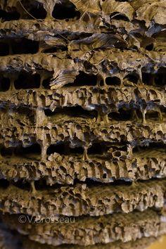 nid-de-frelons-asiatiques16-07