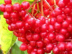 RED - berries