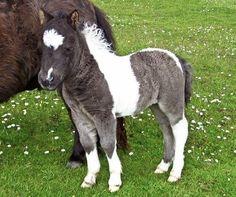 Shetland Pony | shetland ponies from shetland benston stud