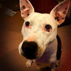 Flea ❤️ #staffy #englishbullterrier #battetsea #batterseadogshome