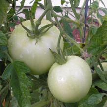 Mature green tomatoes can ripen off the vine, says Barb Fick, horticulturist with the Oregon State University Extension Service.