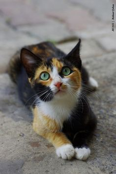 .calico kitten cutie cat with green eyes