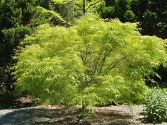 Maples for full sun; pictured is koto no ito