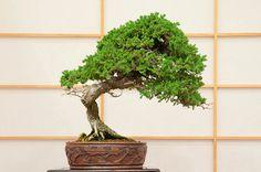 Procumbens juniper – 36 years