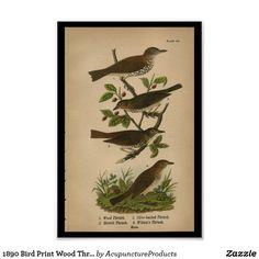 1890 Bird Print Wood Thrush | Zazzle.com