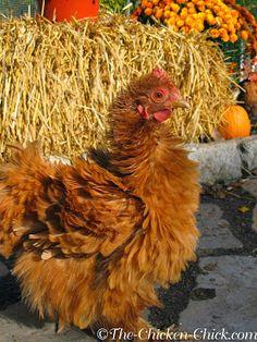 Autumn hen (Bantam Cochin Frizzle)