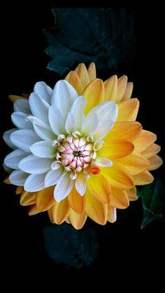 Nature Iphone Wallpaper, Flower Phone Wallpaper, Mobile Wallpaper, Wallpaper Ideas, Trendy Wallpaper, Amazing Flowers, Beautiful Roses, Beautiful Flowers, Dahlia Flower