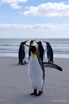 The King Penguins of the Falkland Islands // Brittany from Boston Central America, South America, Places Around The World, Around The Worlds, Beautiful World, Beautiful Places, Visit Chile, King Penguin, South Of The Border