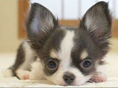 Chihuahua - Looks just like Frisky and the other puppy that my dad brought to me in his coat pocket. Debby