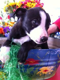 Meet Charlie a Petfinder adoptable Border Collie Dog | Lubbock, TX | Charlie is a border collie mix puppy from the Lorenzo pound. There were seven puppies and a mother...
