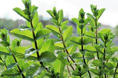 Plantera DETTA (pepparmynta) och säg hejdå till möss, spindlar och andra skadedjur i ditt hem.