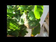 ▶ ZipGrow Vertical strawberries - YouTube
