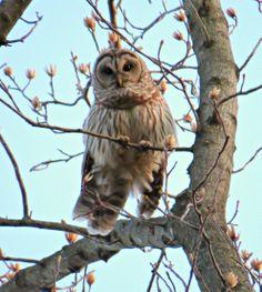 Barred Owl: 31 March 2014, Falls Church, Va (Holmes Run stream park), 7:30 p.m., 60 degrees, dusk, calm