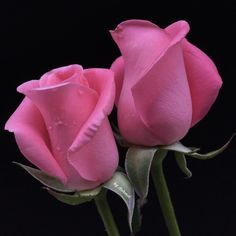 Buds of pink roses – Doğan Özkan – Join the world of pin Beautiful Rose Flowers, Exotic Flowers, Amazing Flowers, Pretty Flowers, Pink Flowers, Gif Kunst, Rosa Rose, Rose Images, Flower Pictures
