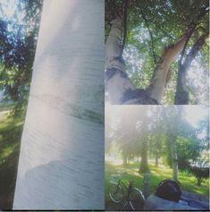 Paperikoivu Maakunnan puistossa Hämeenlinnan kirjaston vieressä.  Todella hieno valkoinen runko.