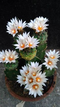 💕💖Turbinicarpus Cactus / Cactus The market in cactus house plants is bo. - 💕💖Turbinicarpus Cactus / Cactus The market in cactus house plants is booming and with very - Succulent Gardening, Cacti And Succulents, Planting Succulents, Planting Flowers, Cacti Garden, Unusual Flowers, Rare Flowers, Amazing Flowers, Cactus House Plants