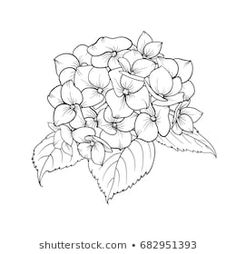 Blooming flower hydrangea on white background. Mop head hydrangea flower isolated against white. Beautiful flowers in style of engraving. Flower Line Drawings, Flower Drawing Tutorials, Simple Line Drawings, Flower Sketches, Easy Drawings, Hydrangea Tattoo, Hydrangea Flower, Flower Tattoo Designs, Flower Tattoos
