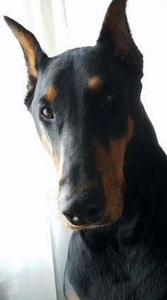 Doberman Pinscher! Dogs & Animal Pillows! Now Available @ Cushion Co