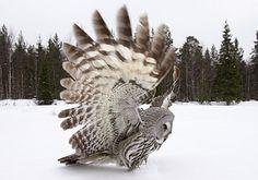 Lapland Owl ~ magnificent!