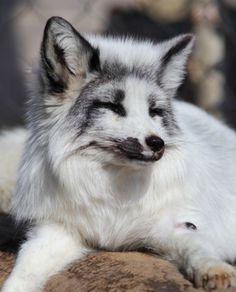 Gorgeous Fox
