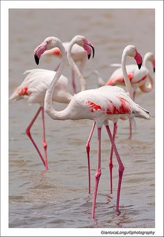 """""""Daintily girls, the modelling scout is moving this way."""" (Fenicotteri rosa by Gianluca Longu) Pretty Birds, Love Birds, Beautiful Birds, Pretty In Pink, Flamingo Photo, Flamingo Art, Pink Flamingos, Animals And Pets, Cute Animals"""