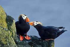 Two tufted puffins touch bills as part of courting ritual along the cliffs of the Pribilof Islands, in the Bering sea, Alaska