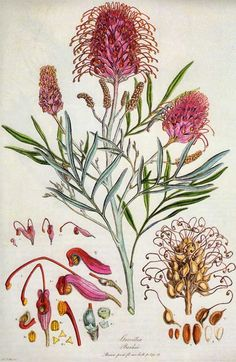Grevillea banksii, botanical print by Ferdinand Bauer. The original paint-by-numbers artist. He could not carry into the field the full range of colors he needed to depict flora with accuracy, so he put numbers of colors into his sketches. Australian Wildflowers, Australian Native Flowers, Botanical Drawings, Botanical Prints, Botanical Posters, Nature Illustration, Science Illustration, Sphynx, Graphic