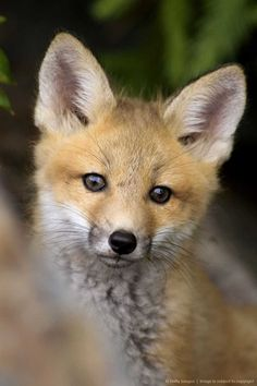 Red Fox Kit near roadside den. Killarney Provincial Park, Ontario, Canada