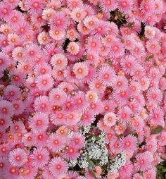 Pink Pigface Lily Garden, Magical Images, Fairy, Wall, Plants, Pink, Walls, Plant, Pink Hair