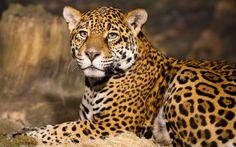 Leopard HD Photos  Wild Animal Cheetah Wallpapers Images Download 1920×1157 Cheetah Images Wallpapers (44 Wallpapers) | Adorable Wallpapers