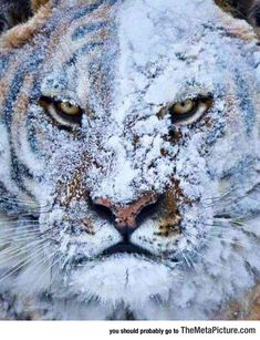 Tiger After A Fight In The Snow