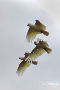 Flying Birds... Australian Cockatoos