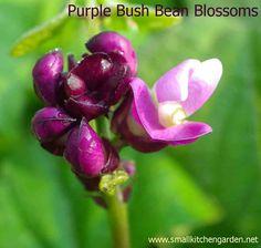 Purple bush bean blossoms