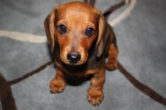 dachshund puppy. I love Doxies!