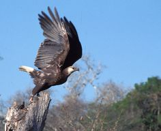 Madagascar Fish Eagle taking off. Photo by Ruth Tingay