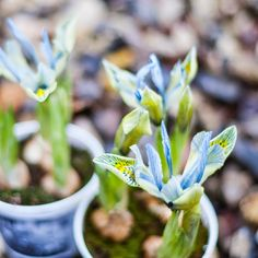 Marianne's Have: Blå Iris My #beautiful #blue #iris' are #blooming again this #year. It is #springtime and i get more and more #excited and look so much forward to #summer :) Both the #season in it self but also my and my #boyfriends #wedding this #juli :) Total #love <3 #marianneshave #seasonschange #spring #nordic #thelittlethingsinlife #growth #altomhaven #garden #flowers