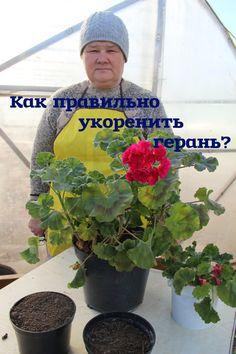 Как правильно укоренить герань. Diy Garden, Flowers Perennials, Plants, Geraniums Garden, Red Geraniums, Propagating Plants, Side Garden, Farm Gardens, Garden Plants