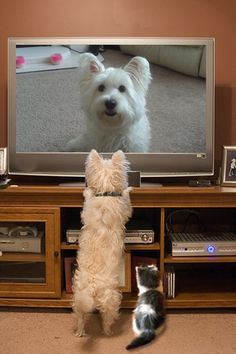 AWWWWW!!!! Westie Love :) - I love this picture!  Piper does this, too, anytime an animal in on TV.  It makes it hard to watch animal planet, though!