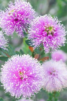 Purple Poms
