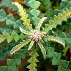 Banksia leaves (Australia)