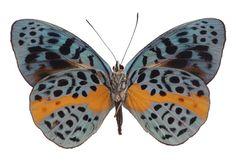 [][][] Brush-footed Butterfly Eunica chrysochiora * Family: Nymphalidae * Origin: Peru