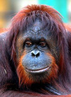 Orangutan eye