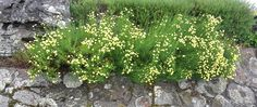 Nice for edging on beds, mixed with lavender, etc. Beds, Lavender, Nice, Plants, Bedding, Plant, Nice France, Bed, Planets