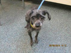 Meet DOROTHY a Petfinder adoptable Poodle Dog | Toledo, OH | Lucas County Canine Care & Control Toledo, OH Pet ID: A006126 • Spayed/Neutered