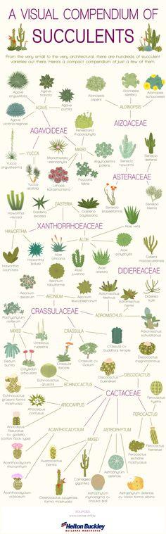 Succulent infographic